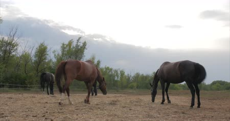 чистокровный : Beautiful thoroughbred horses Pony graze in the meadow, eat grass. Animal care. Concept of horses and people.