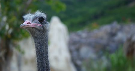 pštros : Close up face of an ostrich. African ostrich in the wild, looking straight into the camera. Concept beautiful nature.