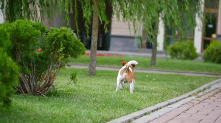 güvenilirlik : Young attractive Terrier dog running on the street.