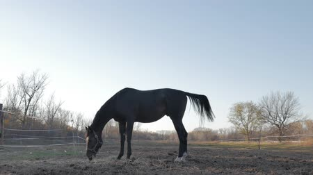 kanca : Beautiful thoroughbred horse graze in the meadow, eat grass. Animal care. Concept of horses and people. Stock mozgókép