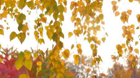arbol roble : Autumn concept, autumn sunny day, leaves sway from the wind against the backdrop of a solar flare.
