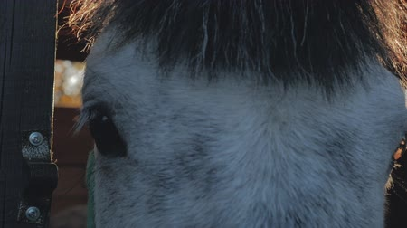 galoppo : Closeup view of the sad dark brown eyes of a horse in the bright sunlight that stands in the stable.Against the background of the Rays of the sun, Horse stands in the sump. Despondent look of a horse.