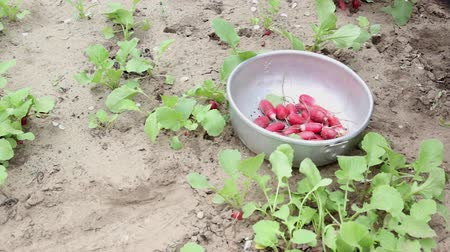 rabanete : People harvest radish