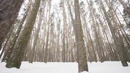 pinheiro : Camera moves among snow-covered trees during snowfall in forest at winter day. Stock Footage