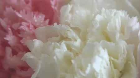 szegfű : Flowers, rotation on white background, floral composition consists of Carnation