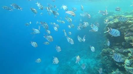 five : school of Indo-Pacific sergeant swims over coral reef, Red sea, Egypt Stock Footage