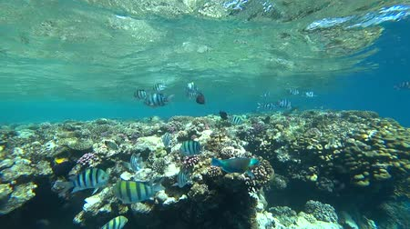 banded : school of Indo-Pacific sergeant swims over coral reef, Red sea, Egypt Stock Footage