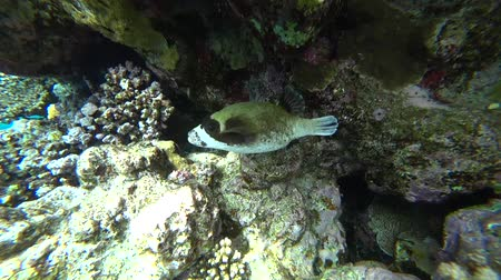 exotikou : Diving in the Red sea. Posing the puffer fish over colorful coral reef. Dostupné videozáznamy