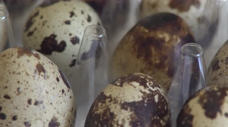 bird eggs : Quail eggs in the tray close up rotation. Stock Footage