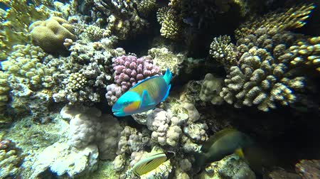 papağan : A bright parrot fish sails among the corals of the Red Sea.