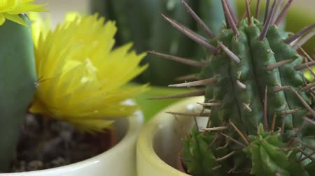 houseplant : Green cactus with sharp needles rotates.