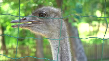avestruz : Close Up Shot of ostriches at a ostrich farm. Stock Footage