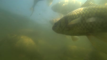pound : Wild carp swimming under water