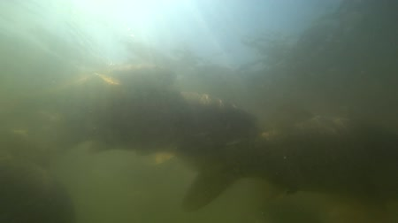 ужение : Wild carp swimming under water