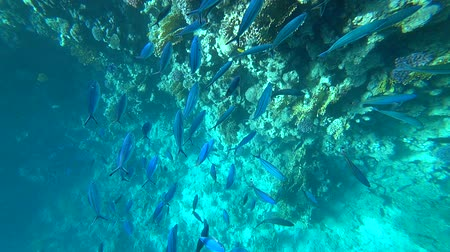 greater : School of Yellowfin goatfish Mulloides vanicolensis