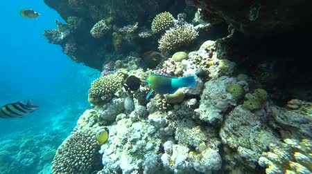 egito : A bright parrot fish sails among the corals of the Red Sea.