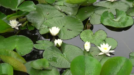 bionomics : water lilies swaying on the waves. Stock Footage