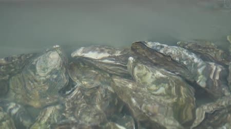 oysters : Group of several fresh oysters in clear water. Oysters in store before cooking.