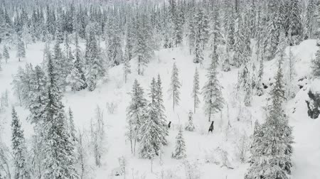 Moose in the winter forest seen from above