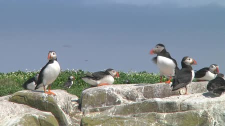 rookery : Group of puffins