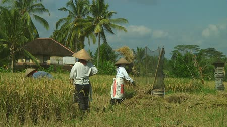 indonesia : Rice farmers harvesting on Bali, Indonesia Stock Footage
