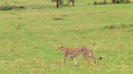 ghepardo : Cheetah in Serengeti NP, Tanzania