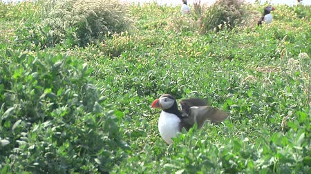rookery : Puffin