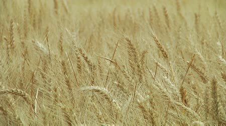 pszenica : Golden wheat field background Wideo