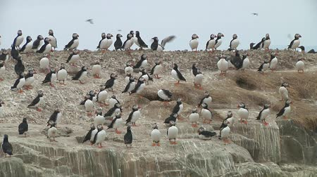 arctica : Group of puffins