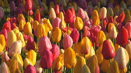 tulipany : Field of mixed tulips in the early morning sun Wideo