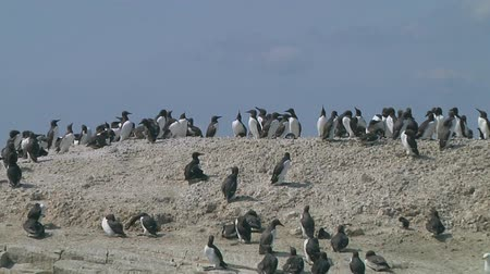 rookery : Colony of guillemots sitting on the rocks Stock Footage