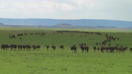 göç : Wildebeest migration in Serengeti NP, Tanzania Stok Video