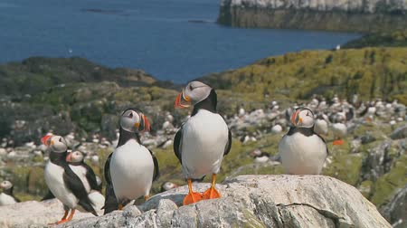 колония : Group of puffins