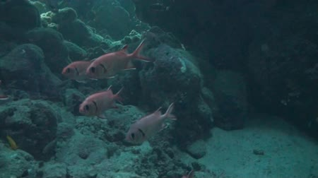 soldierfish : Group of witeedged soldierfish swimmin between some rocks