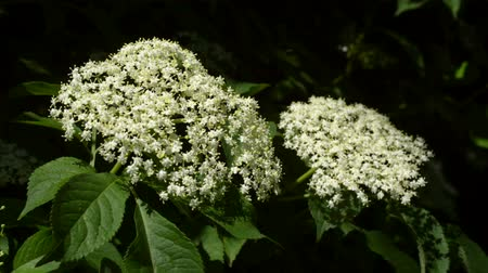 mürver : Elderberry flower (Sambucus nigra) blooming. Close-up of elder flowers in late spring. Camera locked down. Stok Video