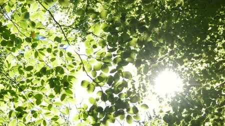 környezeti : Sun shining through the branches of trees. Nature scene spring day Europe. Camera locked down. 1080 full HD video footage. Common Beech European Beech Fagus sylvatica.