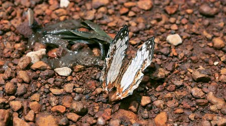 filigrana : closeup beautiful butterfly holding on thr floor in day time after rain Vídeos