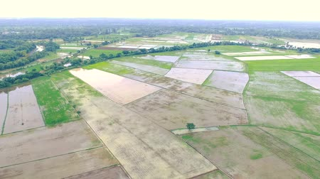 maravilhoso : HD aerial view from drone . Rice plantation field. Agricultural area in countryside. Stock Footage