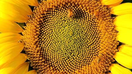 sunflower : Bees searching for nectar from sunflower Stock Footage