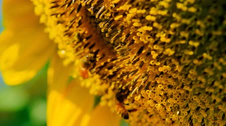 arı kovanı : Bees searching for nectar from sunflower Stok Video