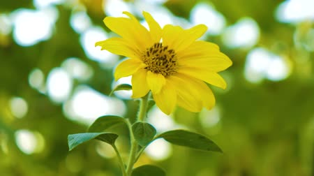 sunflower : Sunflower with Bud Sunflower Blossom.Organic Farming nature concept