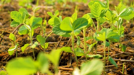 soya : young soybean plants growing in cultivated field, agricultural soy field rows in sunset.