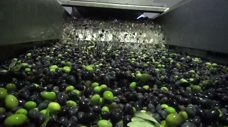 maquinaria : Washing thousands of olives before the start of their processing for olive oil production. Slow motion clip.