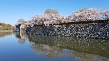 tutmak : Cherry blossom in Japan Stok Video