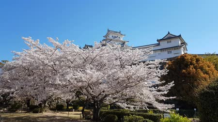 oriental cherry tree : Cherry blossom and the Himeji castle in Japan
