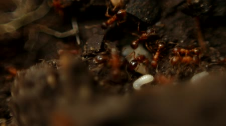 насекомое : Ants moving their larva near the anthill.