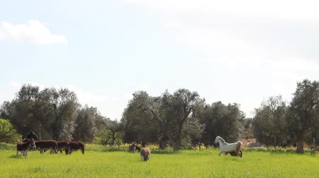 burro : A field with donkeys and horses in the south of Italy in spring Stock Footage