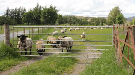 луг : Sheep behind a gate in a field in Scotland