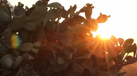 kaktusz : Sun shining through branches of Indian fig cactus