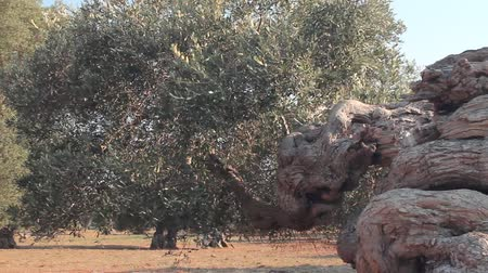 oliva : Twisted trunk of a native southern Italian olive tree